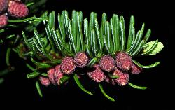 125_18_Pinaceae_Abies-balsamea_sjm087_May20-131_04_12_2018_11_45_04.jpg