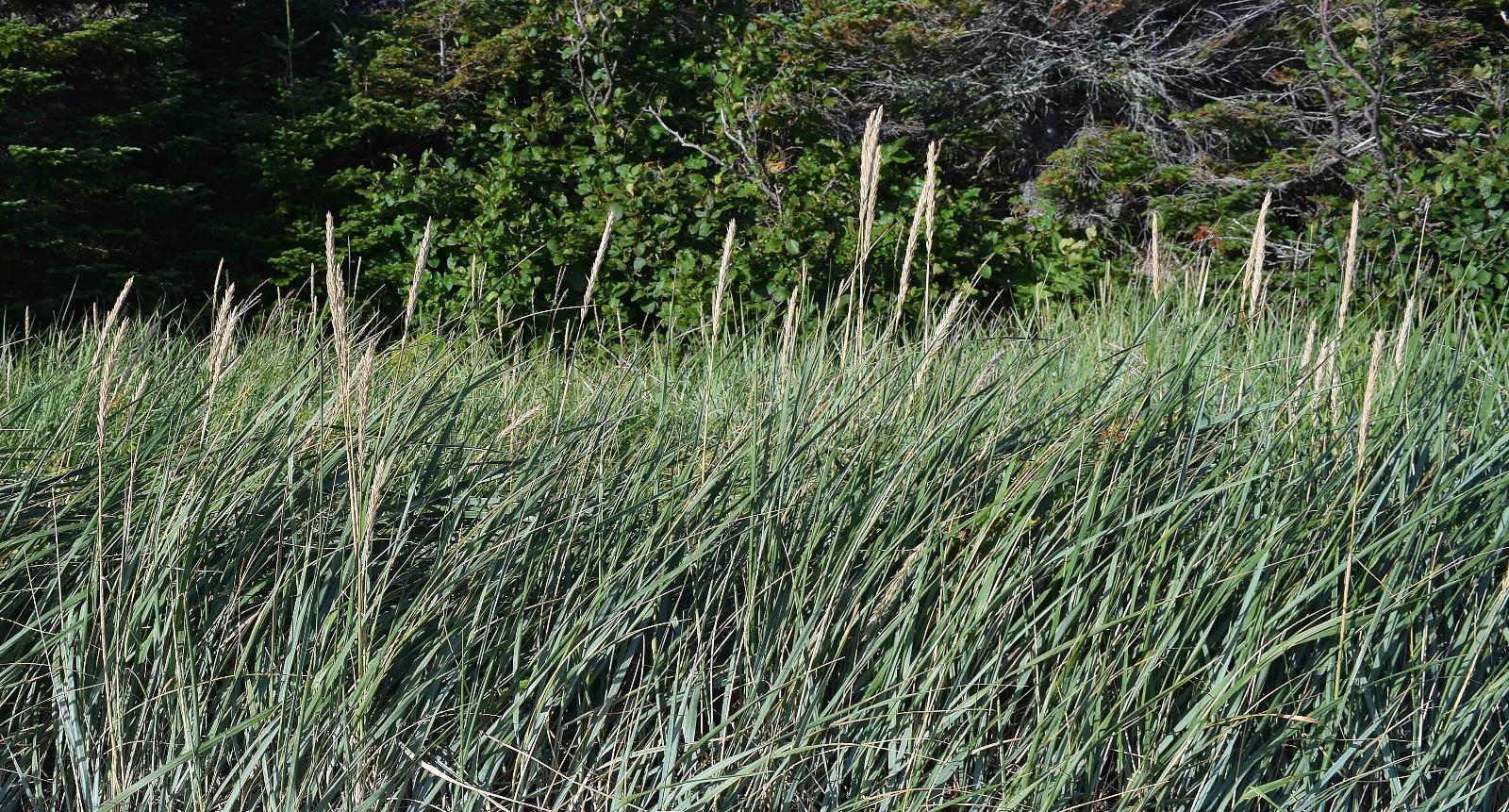 ��k��n�9�j�/i���y�#�f�_Gallery-Leymusmollis(strandwheat)-FloraofNewfoundlandandLabrador